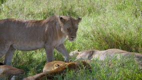 Ciérrese para arriba de leona africana salvaje mira que Cub no está en peligro en el salvaje almacen de metraje de vídeo