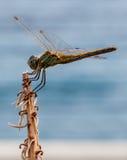 Ciérrese para arriba de libélula en una planta Foto de archivo libre de regalías