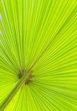 Ciérrese para arriba de licencia verde de la palma Fotos de archivo
