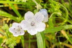 Ciérrese para arriba de los azules cielos casi blancos observa los wildflowers del menziesii de Nemophila, California fotografía de archivo libre de regalías