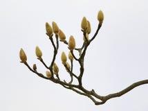 Ciérrese para arriba de los brotes de flor del árbol de la magnolia Foto de archivo libre de regalías