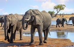 Ciérrese para arriba de los elefantes que beben en el waterhole del campo con más elefantes en el fondo imagen de archivo libre de regalías