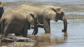 Ciérrese para arriba de los elefantes que beben en masai Mara, Kenia almacen de video