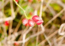 Ciérrese para arriba de los escaramujos maduros rojos que cuelgan en la rama del arbusto Fotos de archivo