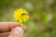 Ciérrese para arriba de los fingeres masculinos que sostienen la flor del taraxacum con el colle de la abeja Fotos de archivo libres de regalías