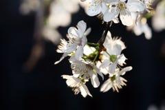 Ciérrese para arriba de los flores de cereza Foto de archivo