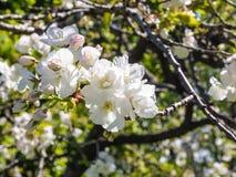 Ciérrese para arriba de los flores hermosos de la almendra Imagenes de archivo