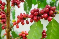 Ciérrese para arriba de los granos de café de la cereza en la rama de la planta antes de cosechar, primer del café tirado con el  Fotografía de archivo libre de regalías