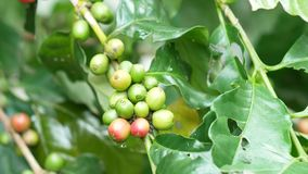 Ciérrese para arriba de los granos de café de la cereza en la rama de la planta del café antes de cosechar metrajes