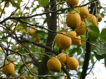 Ciérrese para arriba de los limones amarillos que maduran en un árbol Imágenes de archivo libres de regalías