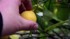 Ciérrese para arriba de los limones de la cosecha de la mano del árbol metrajes