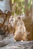 Ciérrese para arriba de los meerkats de los pares que se colocan sobre tocón Fotografía de archivo libre de regalías