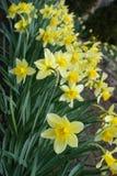 Ciérrese para arriba de los narcissuses amarillos florecientes diagonales Imagenes de archivo
