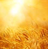 Ciérrese para arriba de los oídos maduros del trigo Contexto hermoso de oídos de maduración Fotos de archivo