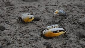 Ciérrese para arriba de los pequeños cangrejos de fiddler que se arrastran en fango metrajes
