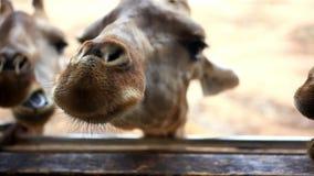 Ciérrese para arriba de los plátanos que alimentan jirafas en safari almacen de metraje de vídeo