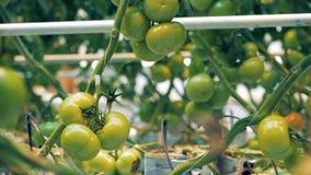 Ciérrese para arriba de los racimos verdes del tomate que cuelgan de ramas almacen de video