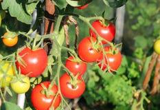 Ciérrese para arriba de los tomates maduros en la vid Imagenes de archivo