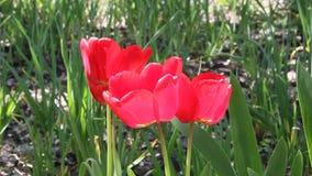 Ciérrese para arriba de los tulipanes rojos que florecen en sol de la primavera almacen de metraje de vídeo