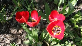 Ciérrese para arriba de los tulipanes rojos que florecen en sol de la primavera almacen de video