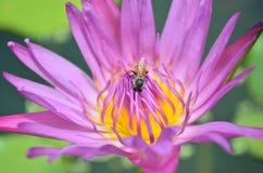 Ciérrese para arriba de loto y de abeja púrpuras Imagen de archivo libre de regalías