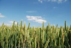 Ciérrese para arriba de maíz en un campo Fotografía de archivo libre de regalías