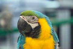 Ciérrese para arriba de Macaw Foto de archivo libre de regalías