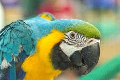 Ciérrese para arriba de Macaw Imagen de archivo