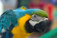 Ciérrese para arriba de Macaw Imagen de archivo libre de regalías