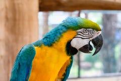 Ciérrese para arriba de macaw Azul-y-amarillo Foto de archivo libre de regalías