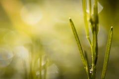 Ciérrese para arriba de malas hierbas en prado verde en fondo borroso en la primavera, fondo abstracto Imagen de archivo