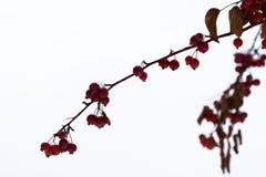 Ciérrese para arriba de manzanas de cangrejo cubiertas hielo en un árbol Fotografiado con el campo de la profundidad baja Lugar p Fotos de archivo libres de regalías