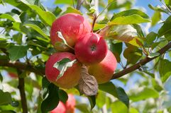 Ci?rrese para arriba de manzanas reales maduras de la gala en una rama con las hojas verdes imagen de archivo