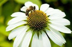 Ciérrese para arriba de manzanilla y de abeja Foto de archivo libre de regalías