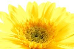 Ciérrese para arriba de margarita amarilla del gerber Imagen de archivo