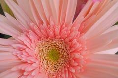 Ciérrese para arriba de margarita rosada del gerber Fotos de archivo