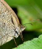 Ciérrese para arriba de mariposa Imagen de archivo