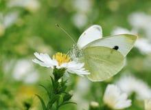 Mariposa de col blanca en la flor foto de archivo