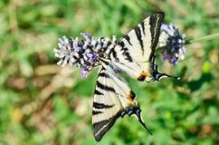 Ciérrese para arriba de mariposa del swallowtail Fotos de archivo