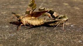 Ciérrese para arriba de mariposas el copulating metrajes