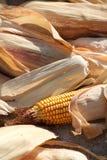 Ciérrese para arriba de mazorcas de maíz Fotos de archivo