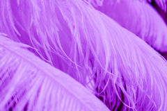 Ciérrese para arriba de muchas plumas púrpuras suaves Foto de archivo