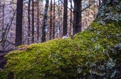 Ciérrese para arriba de musgo en árbol Imagenes de archivo