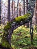 Ciérrese para arriba de musgo en árbol Imágenes de archivo libres de regalías