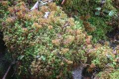 Ciérrese para arriba de musgo en piedra Fondo de la vida de la naturaleza Fotos de archivo