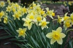 Ciérrese para arriba de narcissuses amarillos florecientes Imágenes de archivo libres de regalías