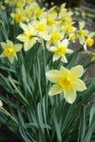 Ciérrese para arriba de narcissuses amarillos florecientes Fotos de archivo