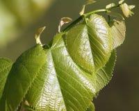 Ciérrese para arriba de nuevas hojas en la primavera temprana del árbol de abedul Foto de archivo libre de regalías