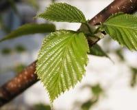 Ciérrese para arriba de nuevas hojas en la primavera temprana del árbol de abedul Foto de archivo