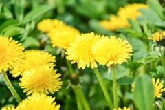 Ciérrese para arriba de officinale amarillo floreciente del Taraxacum de las flores del diente de león en jardín el tiempo de pri Fotos de archivo libres de regalías
